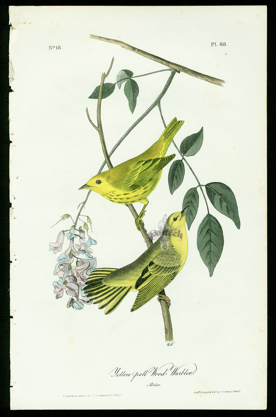 Audubon Bird Prints from Birds