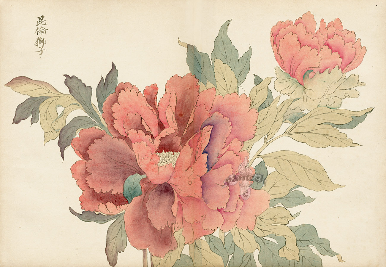 Related Keywords & Suggestions for japanese peony