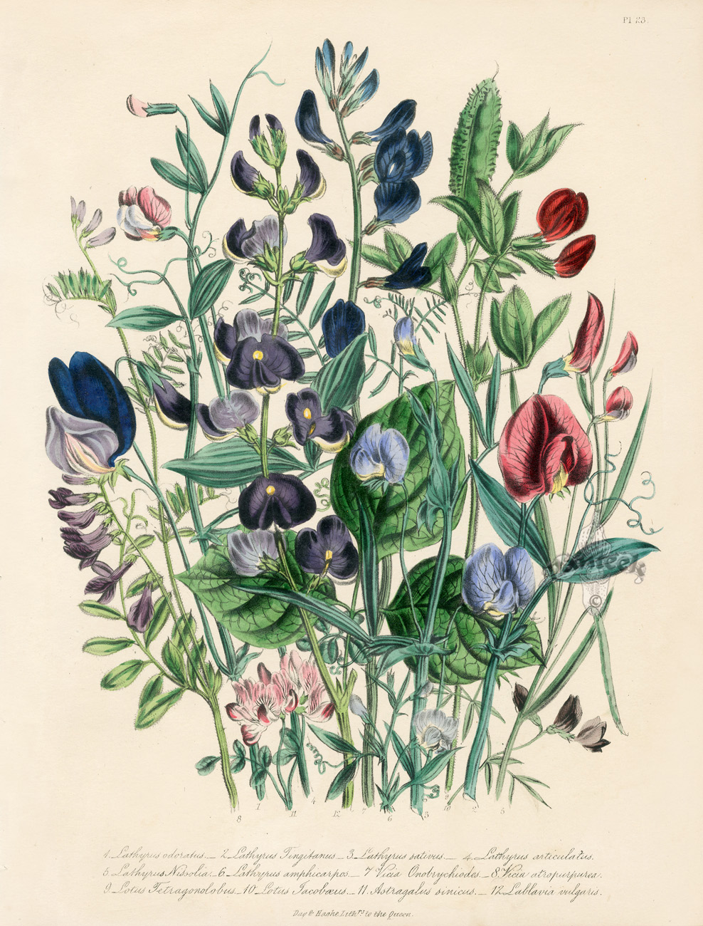 Antique Botanical Prints from Jane Webb Loudon