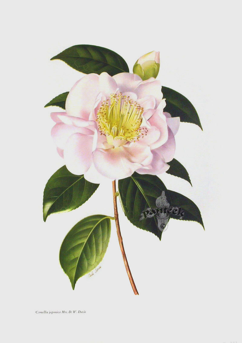 Camellia Illustration Paul Jones Camellia Prints