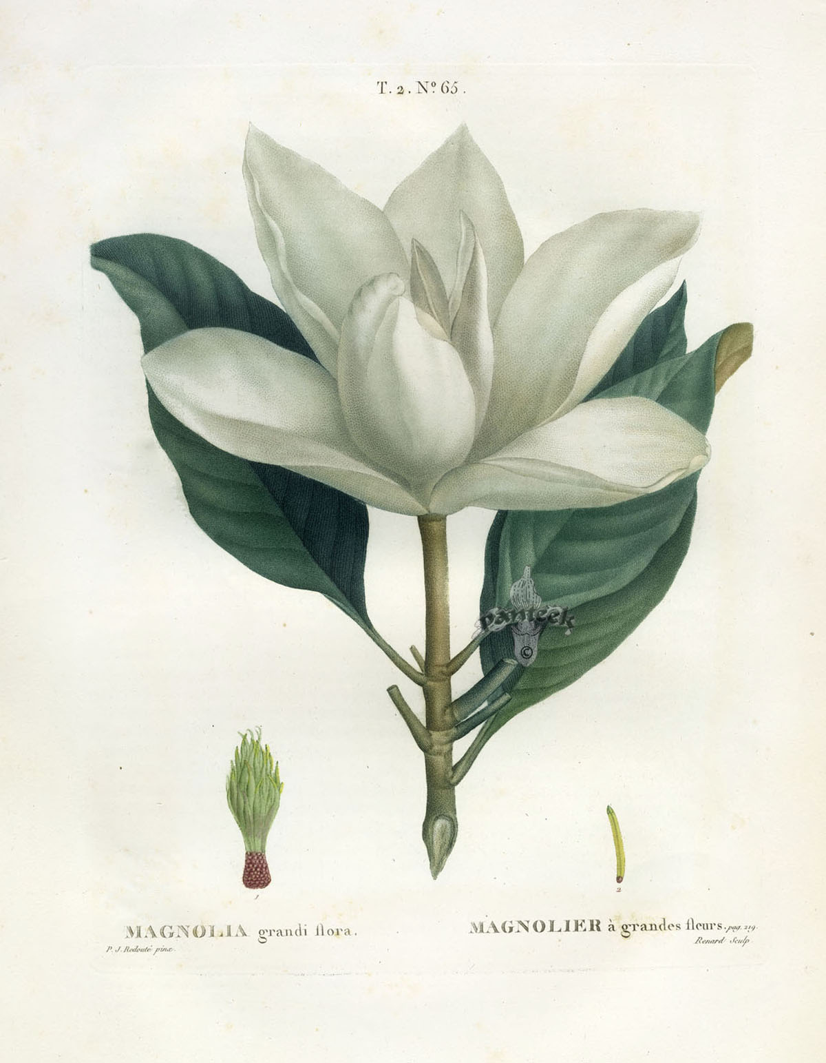 Antique Botanical Prints From Redoute 1801
