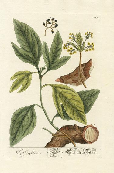 Honeysuckle ELIZABETH BLACKWELL  Vintage Botanical Poster A Curious Herbal