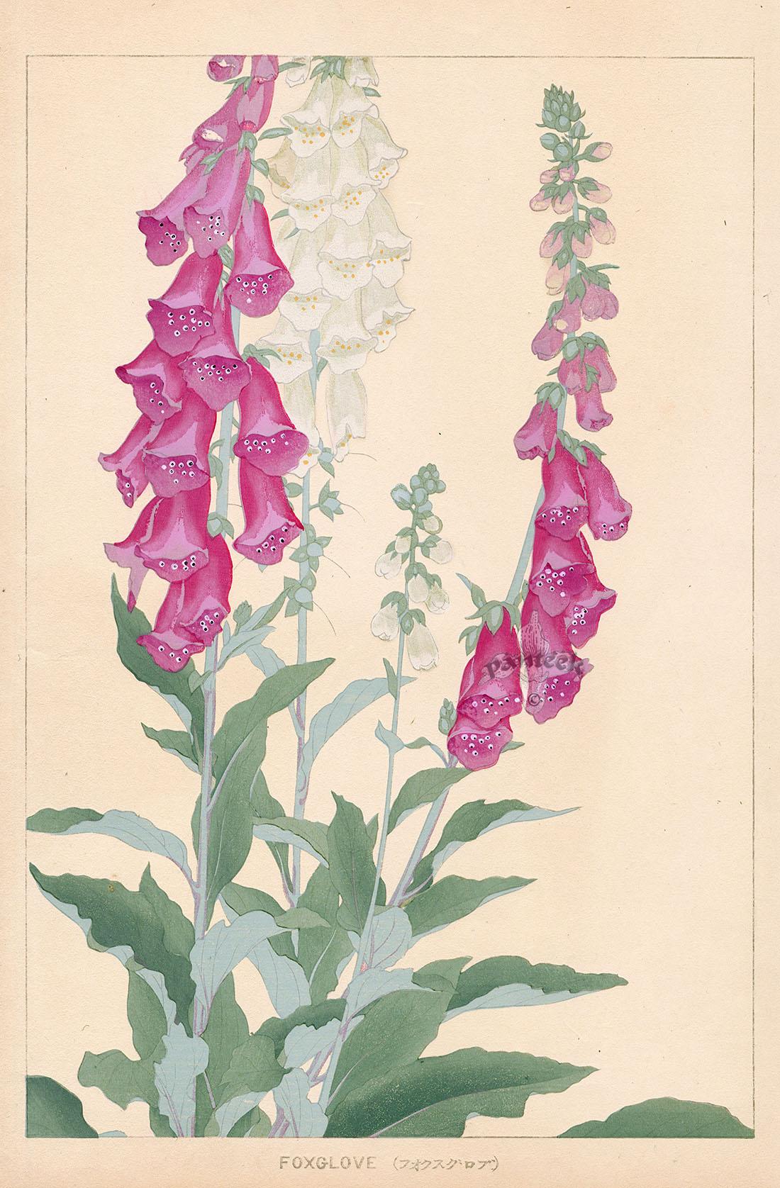 Foxglove From Chigusa Soun Flowers Of Japan Woodblock Prints 1900