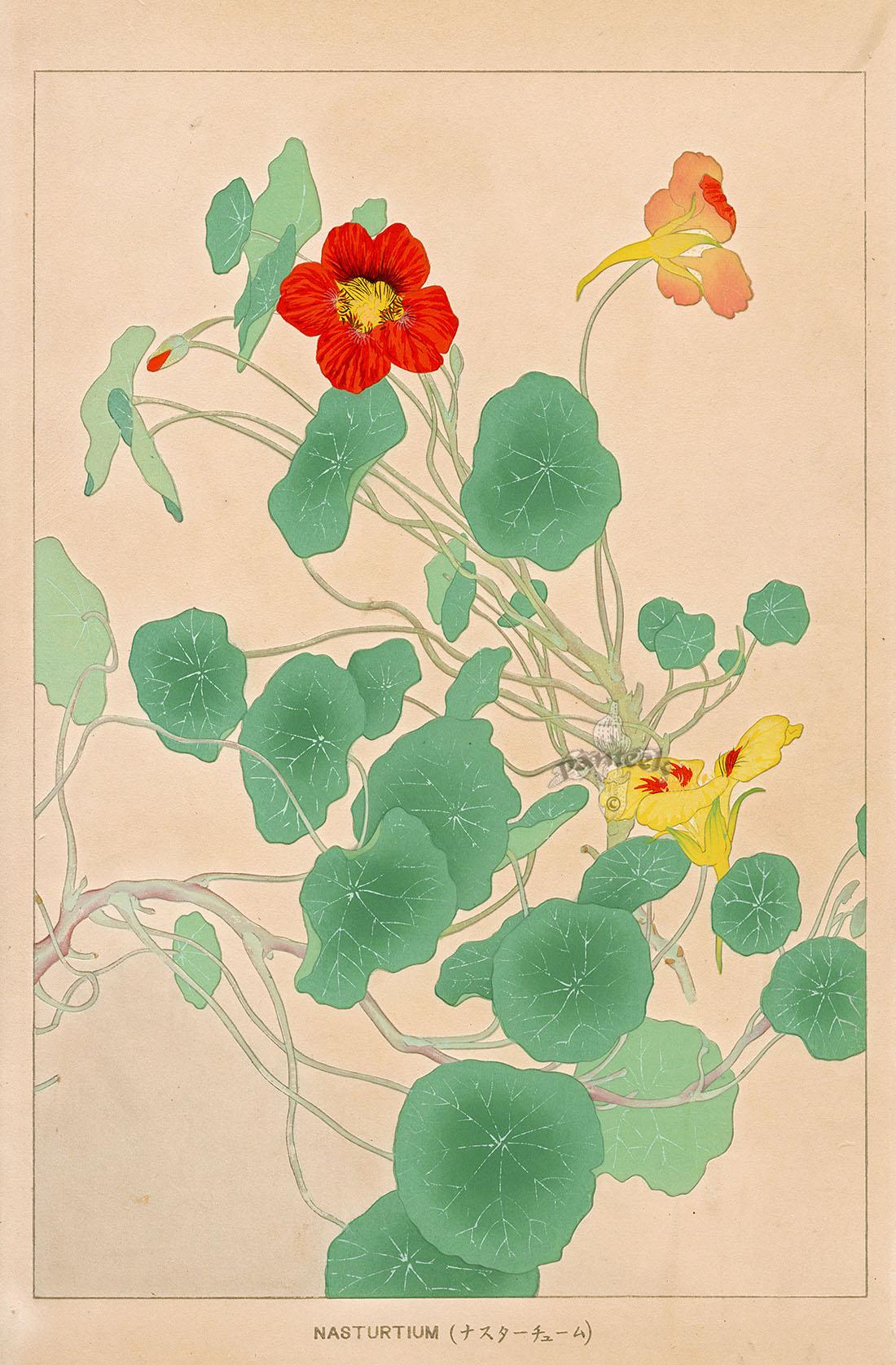 nasturtium from chigusa soun flowers of japan woodblock prints 1900