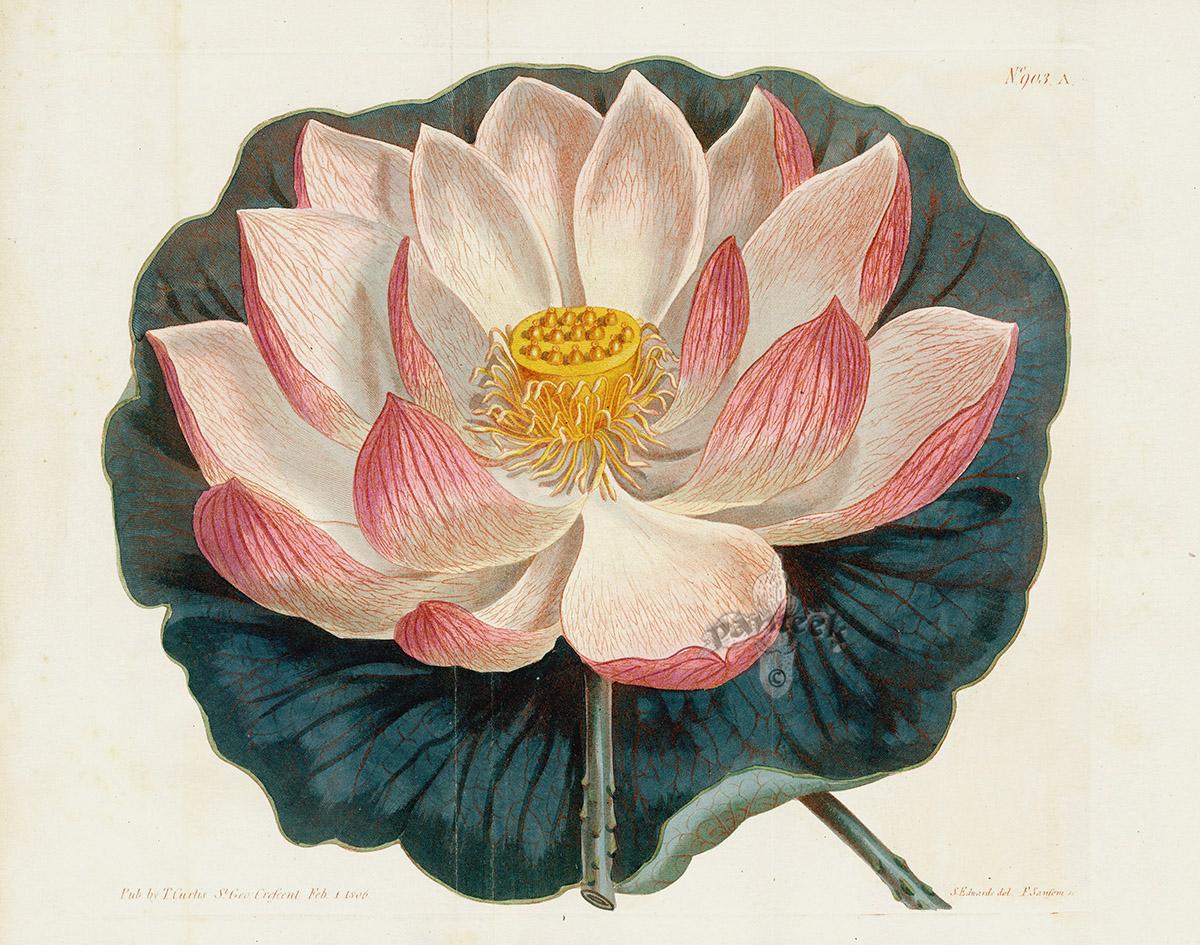 Nelumbium Speciosum Lotus Flower Or Sacred Bean Of India 2 Prints