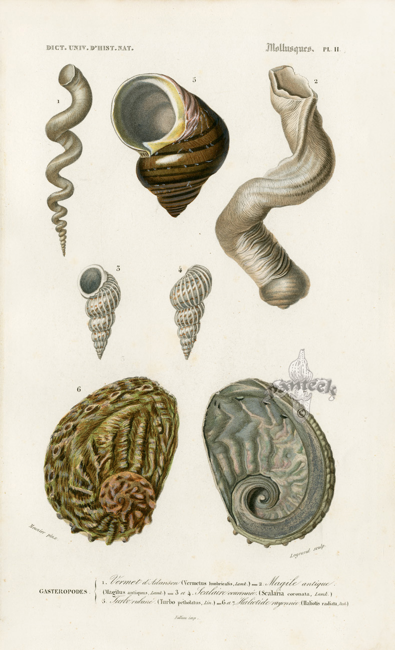 Dorbigny Sea Creature Shell Prints 1849