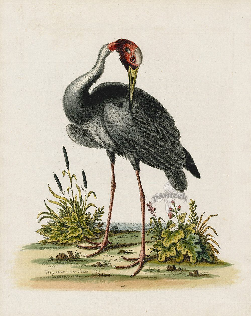 Greater Indian Crane from George Edwards Natural History