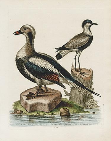 BIRDS Ornithology Spoonbill King Duck Ibis Trumpeter Gull Puffin Albatros Screamer Pelican Penguin 1822 Antique Print Engraving