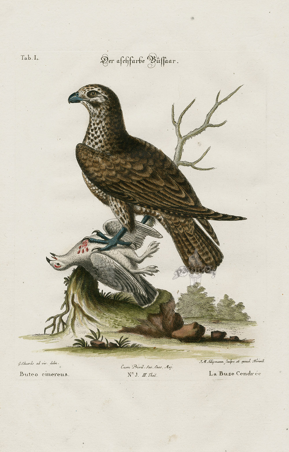 Buteo Cinereus From George Edwards Seligmann Edition