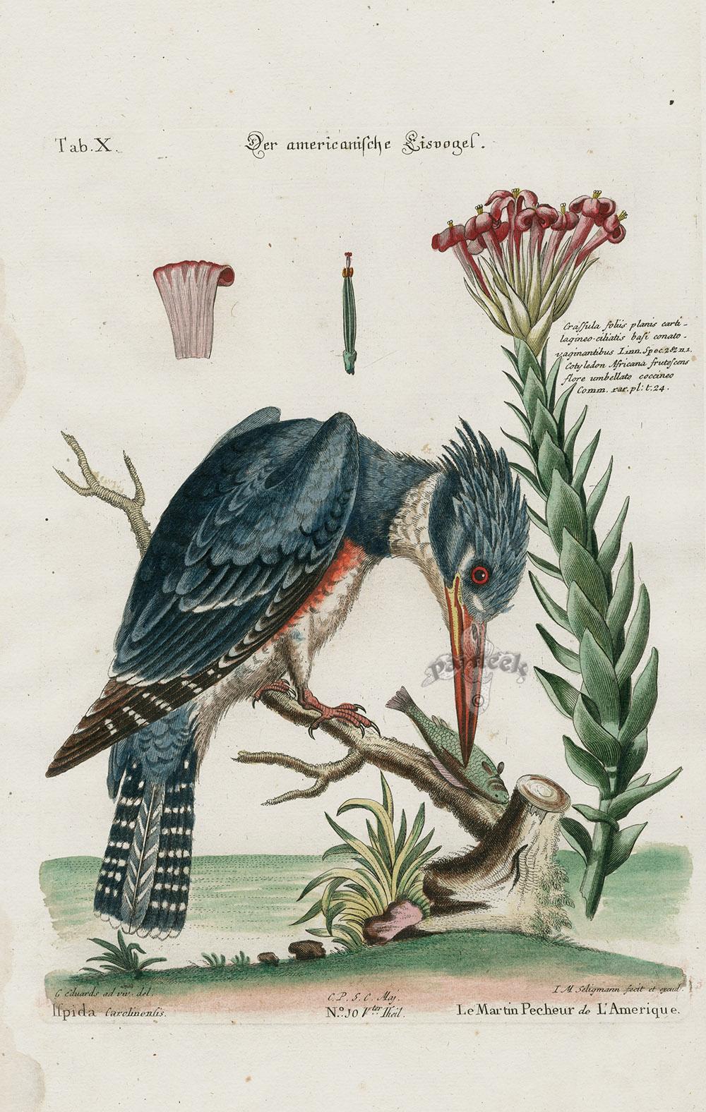 Kingfisher  Ispida Carolinensis  Crassula Foliis Planis
