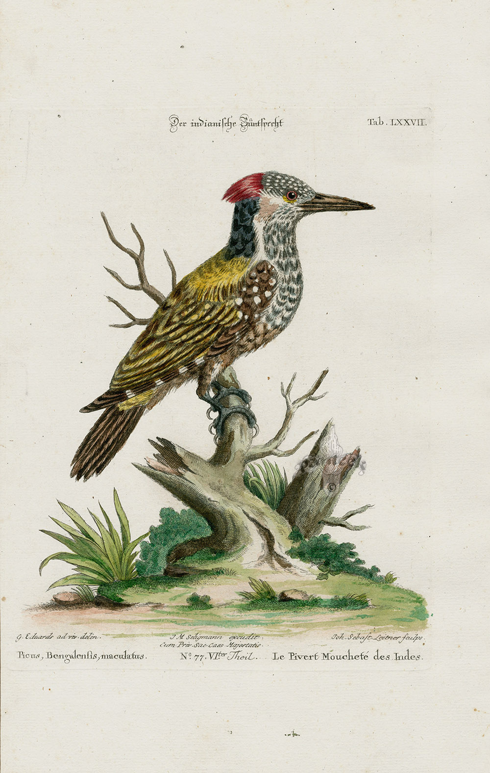 Woodpecker  Picus Bengalensis From George Edwards