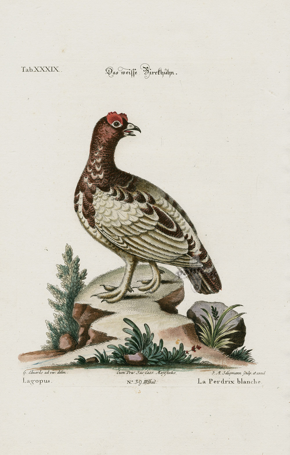 Lagopus  Ptarmigan From George Edwards Seligmann Edition