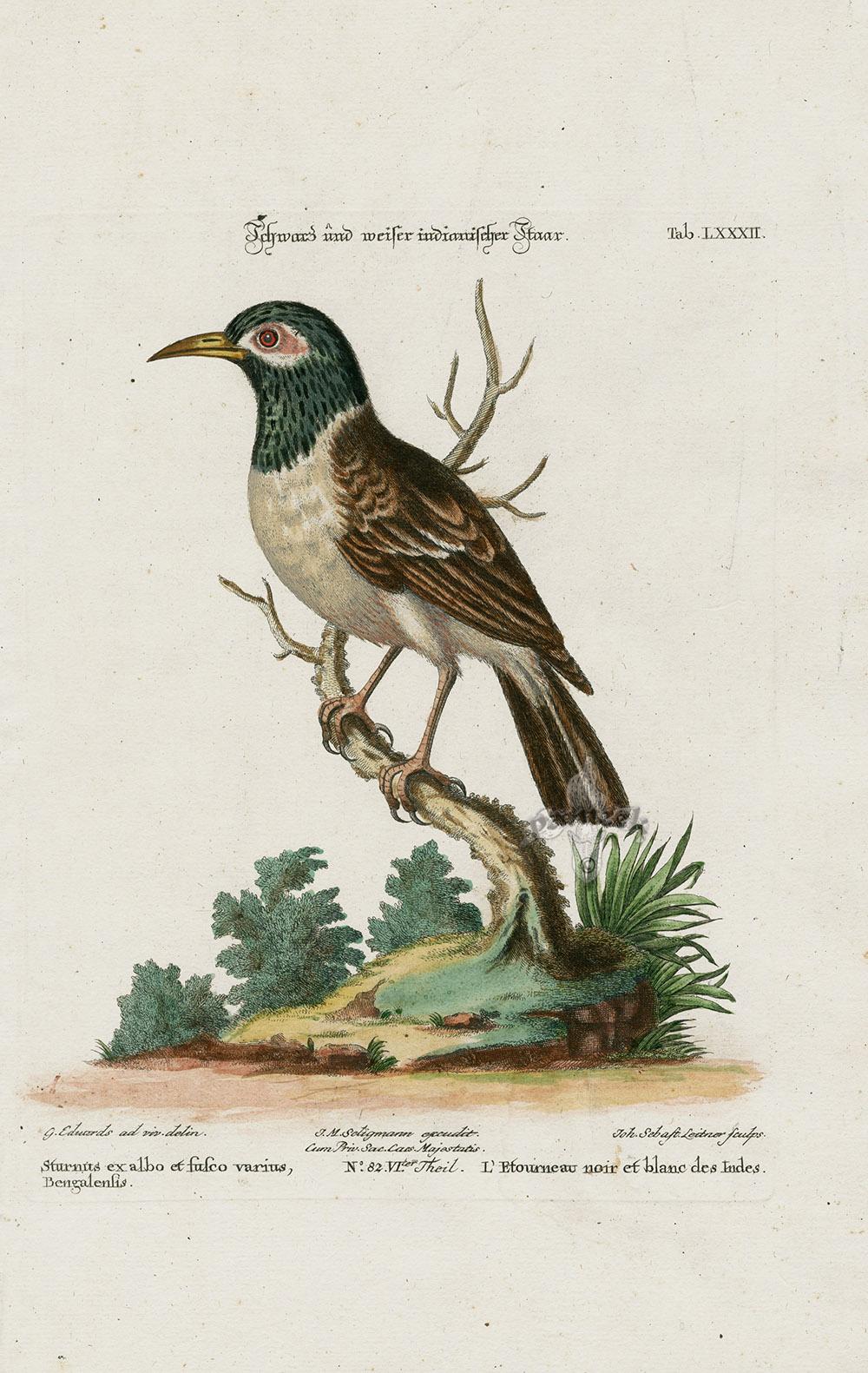 Sturnus Ex Albo Et Fusco Varius Bengalensis From George