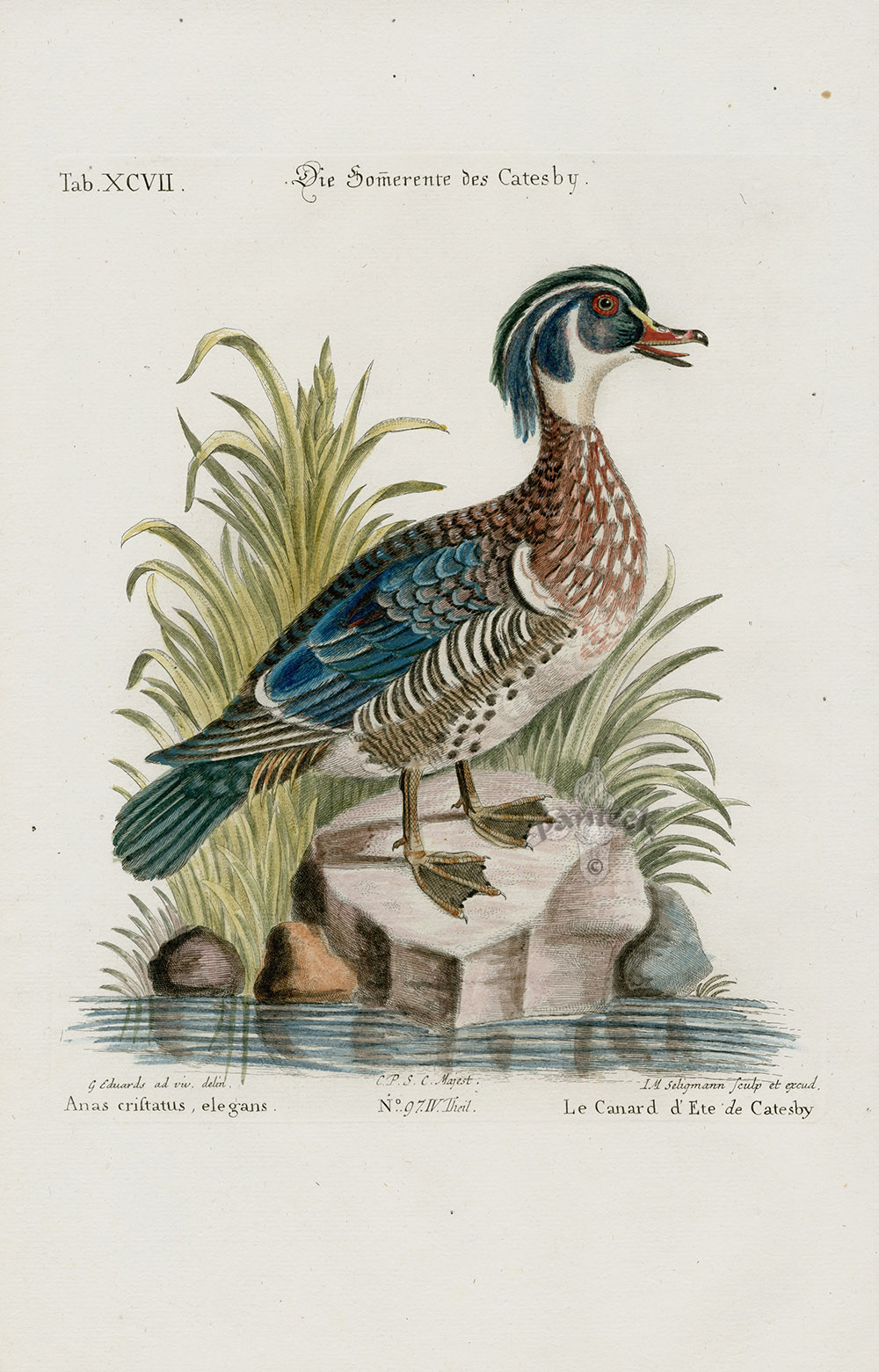 Anas Cristatus Elegans Duck From George Edwards Seligmann