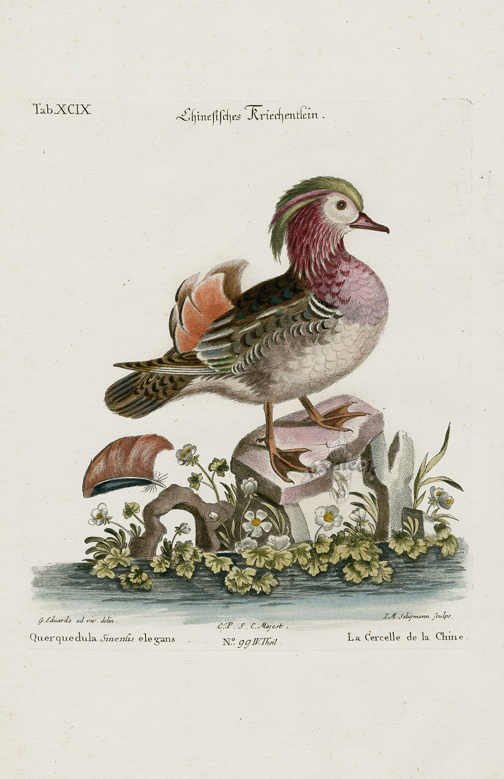 Querquedula Sinensis Elegans Duck From George Edwards