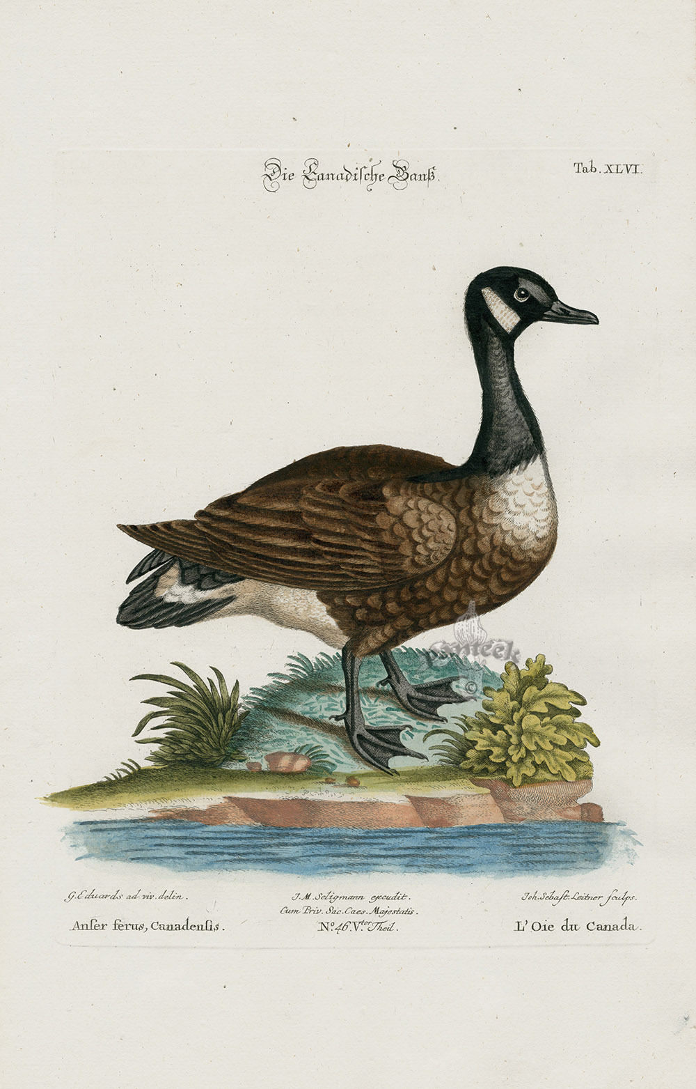 Anser Ferus Canadensis  Canadian Goose From George Edwards