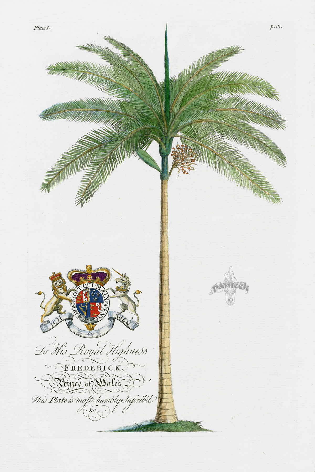 Coconut Palm Tree from Ehret Natural History of Barbados 1750