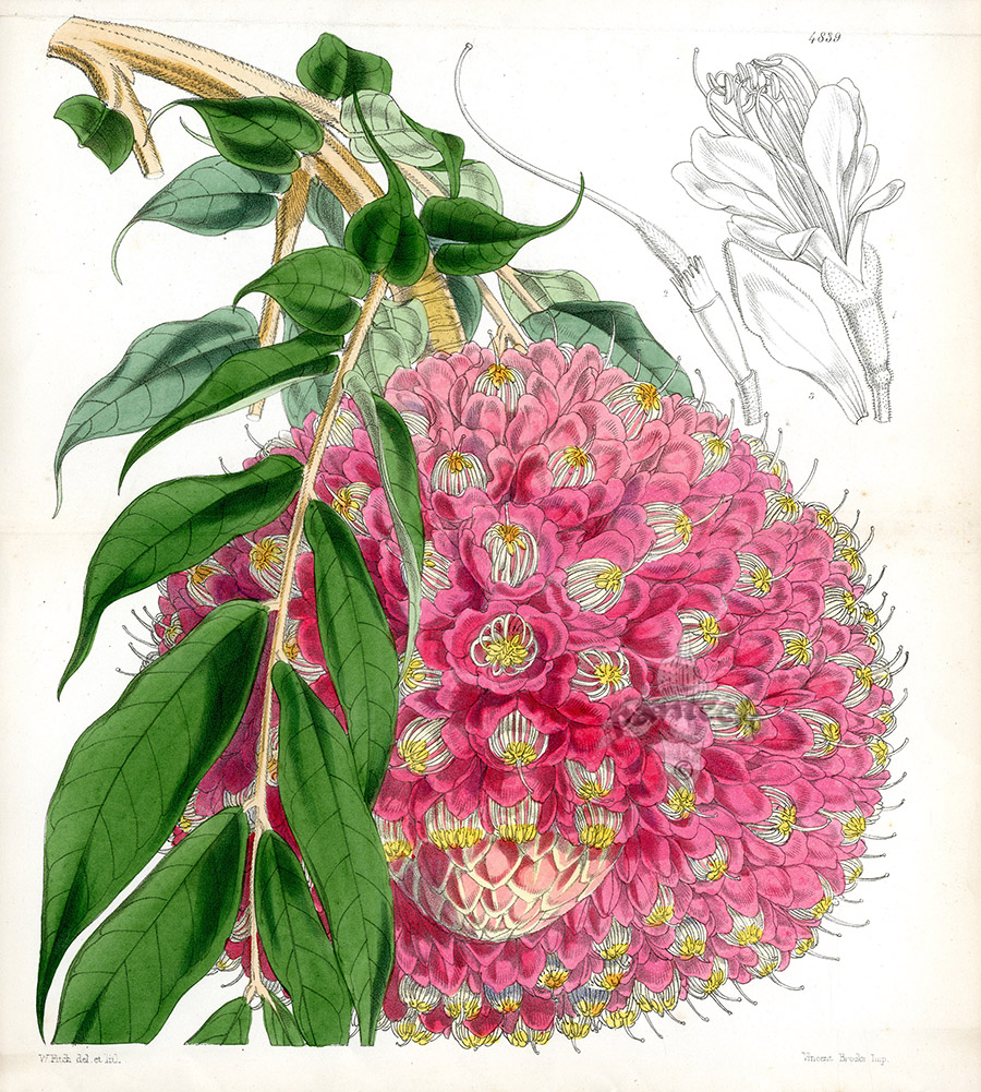 Brownea Grandiceps From Plants From Royal Garden Of Kew By W.H.Fitch  1853 1871