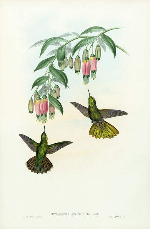 John Gould Antique Hummingbirds Prints 1861