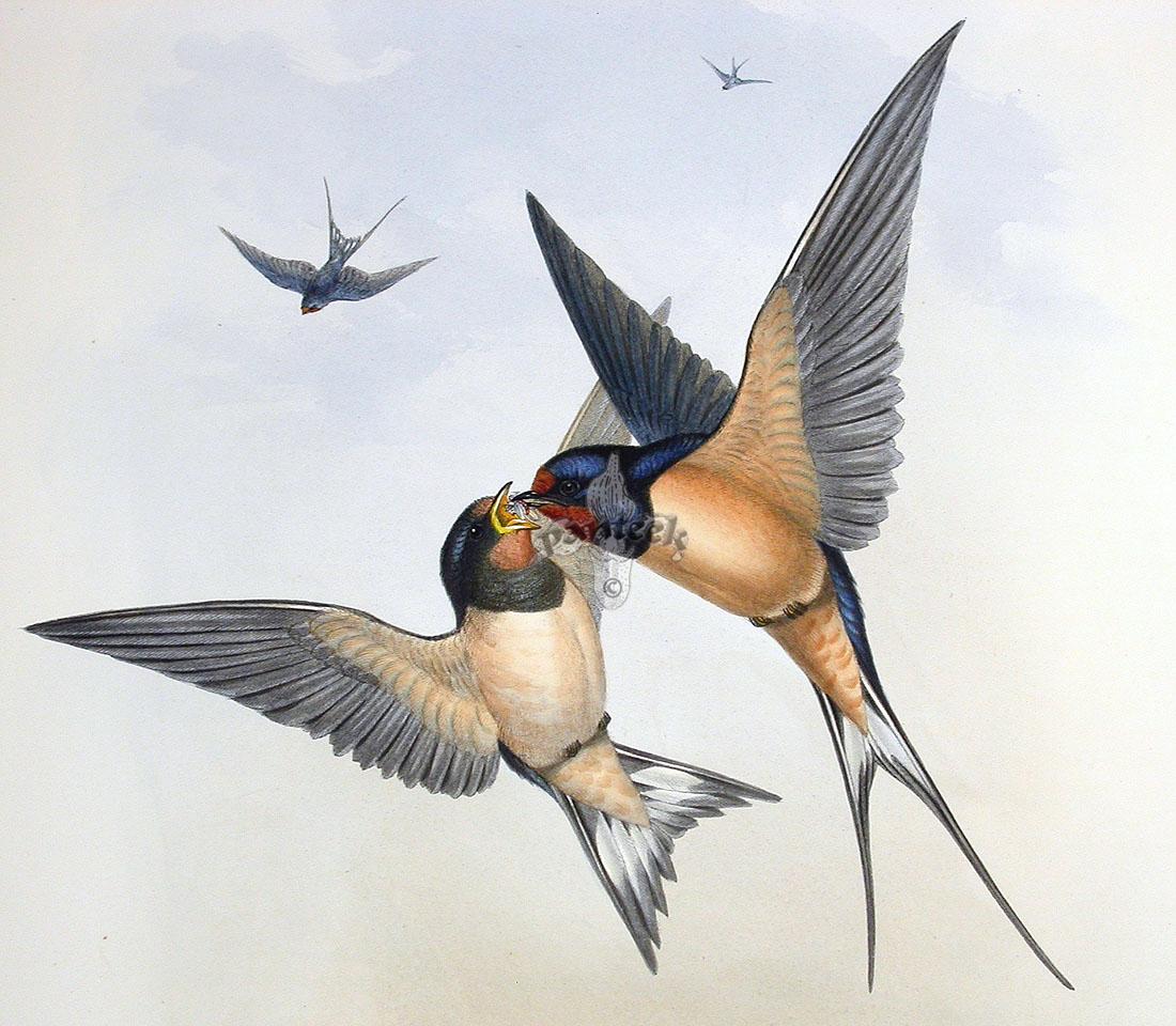 John Gould Birds of Great Britain 18621873