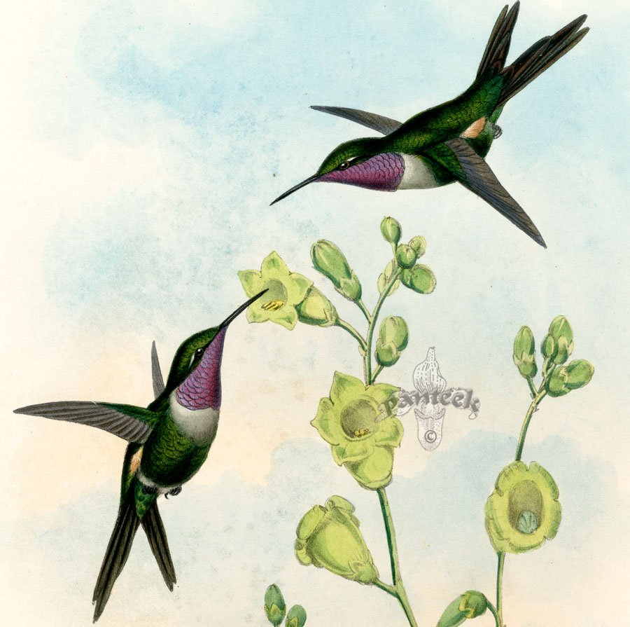 john gould hummingbird prints