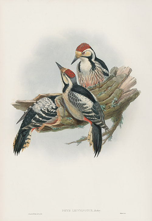 Dead Sea Sparrows by Joseph Wolf Bird Art Repro Made in U.S.A Giclee Prints