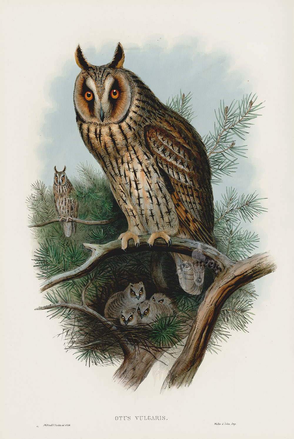 Otus Vulgaris Long Eared Owl By Wolf From Antique