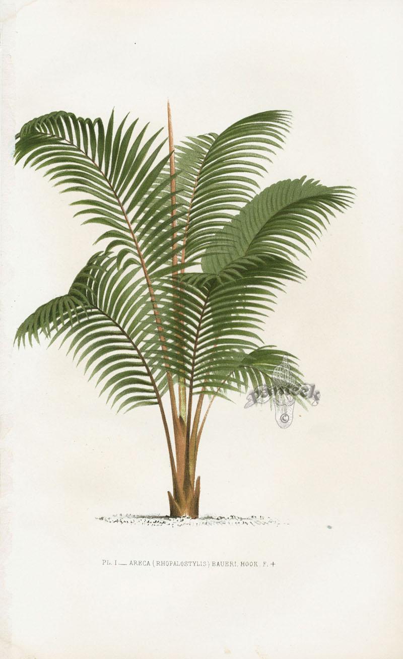 Antique Palm Prints From Kerchove