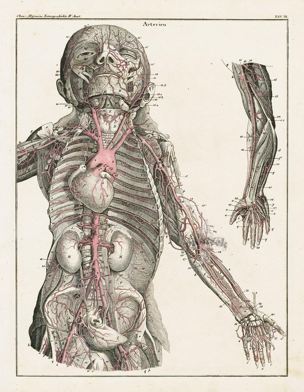 Human Anatomy from Lorenz Oken Abbildungen aturgeschichte für alle ...