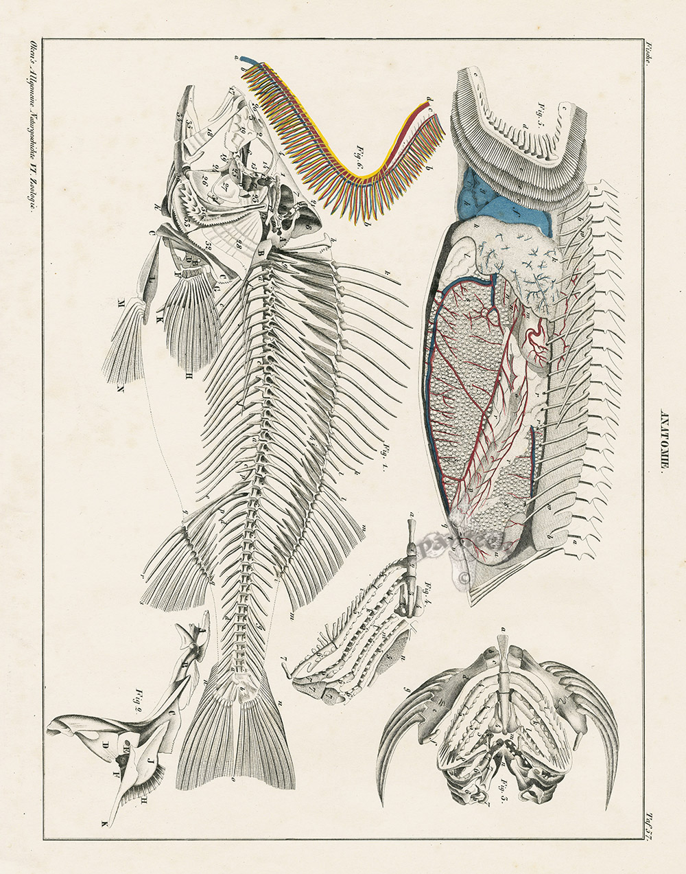 Fish Anatomy From Antique Fish Shell Prints By Oken