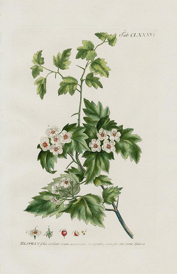 medlar tree mespilus foliis cordato ovatis acuminatis watermark for country u0026 liberty used in thomas