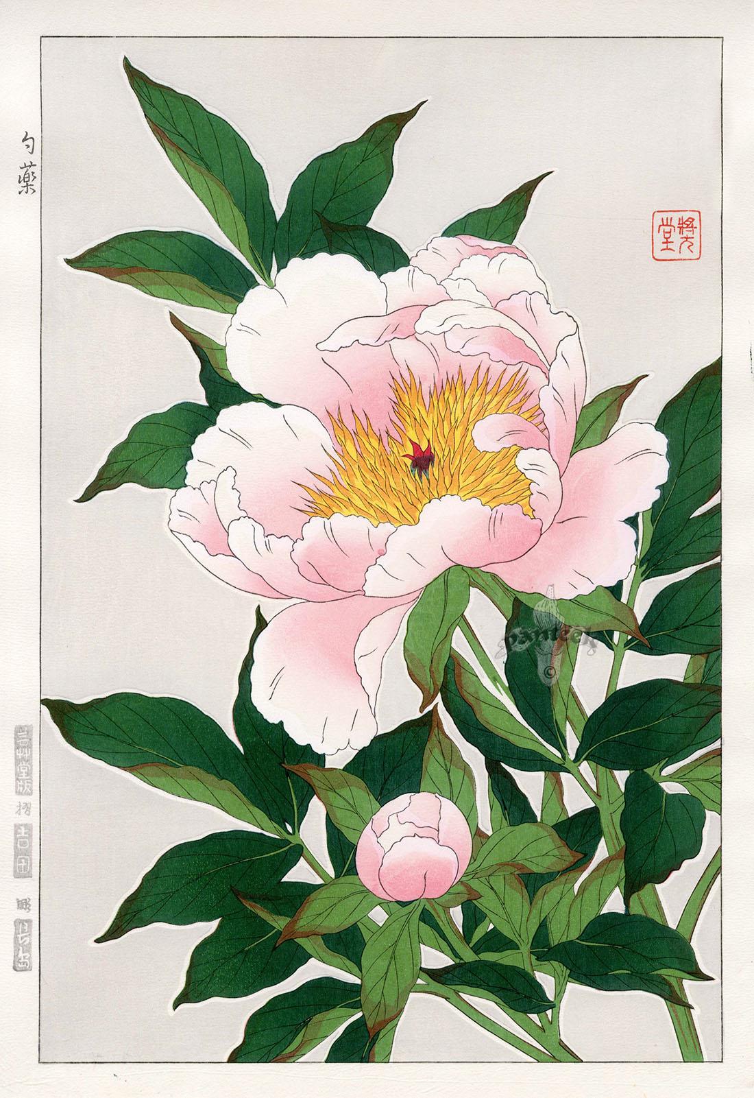 Peony From Shodo Kawarazaki Spring Flower Japanese Woodblock Prints