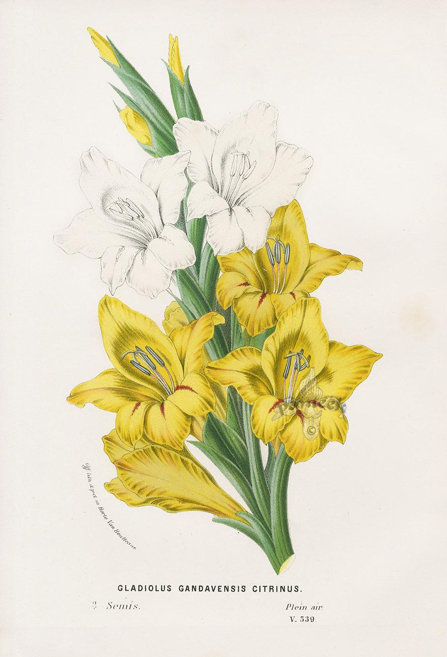 Gladiolus Gandavensis Citrinus From Floral Prints Of Lily Blue