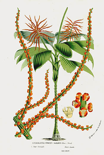 Buy Cheap Van Houtte 1845 Flore Des Serres Lithograph Palm Or Stevensonia Sechellarum
