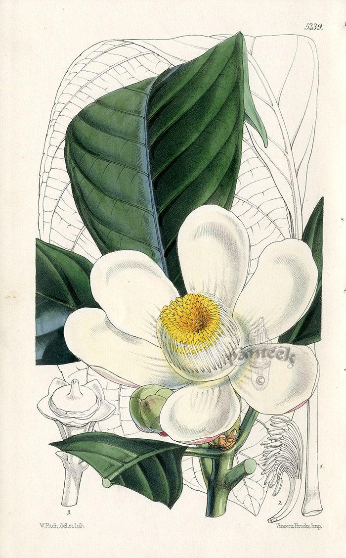 Gustavia Pterocarpa From Plants From Royal Garden Of Kew By W.H.Fitch  1853 1871