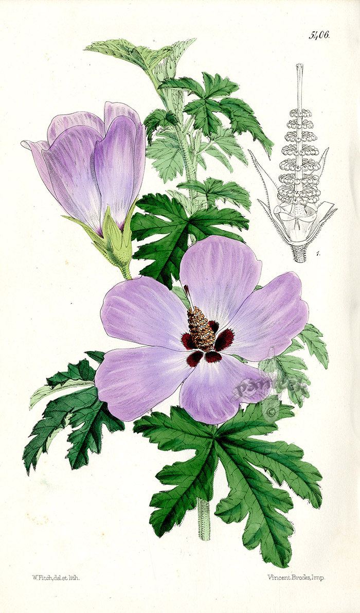 Exceptionnel Hibiscus Huegelii From Plants From Royal Garden Of Kew By W.H.Fitch  1853 1871
