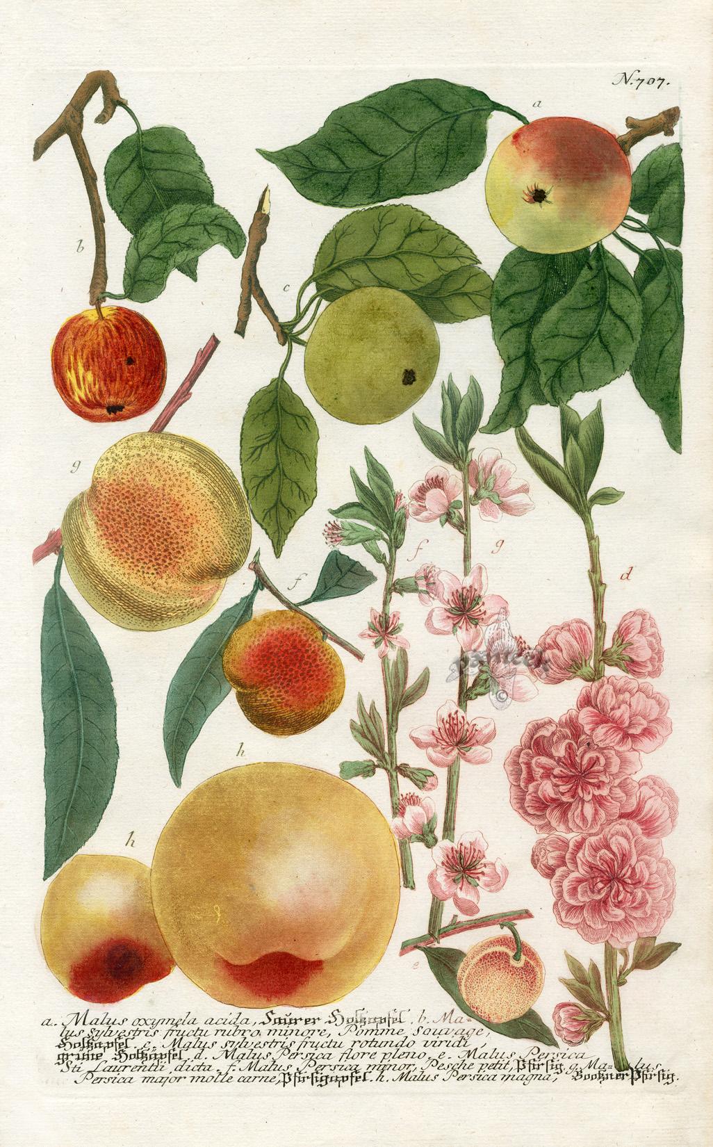 antique prints from johann weinmann
