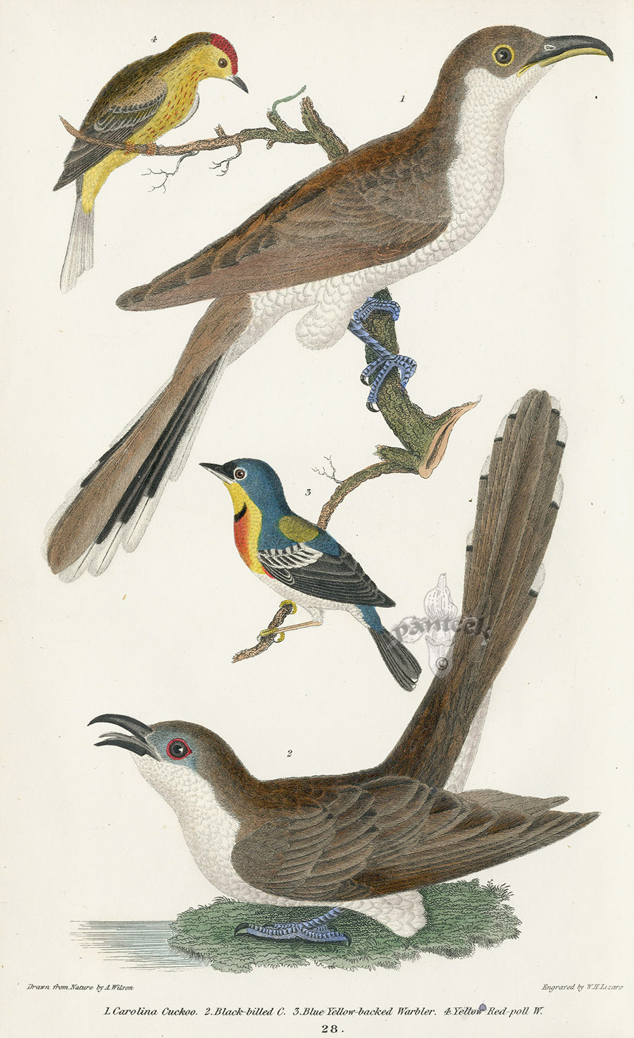 Carolina Cuckoo Black Billed Blue Yellow Backed Warbler Red Poll From Lithographs Of American Birds