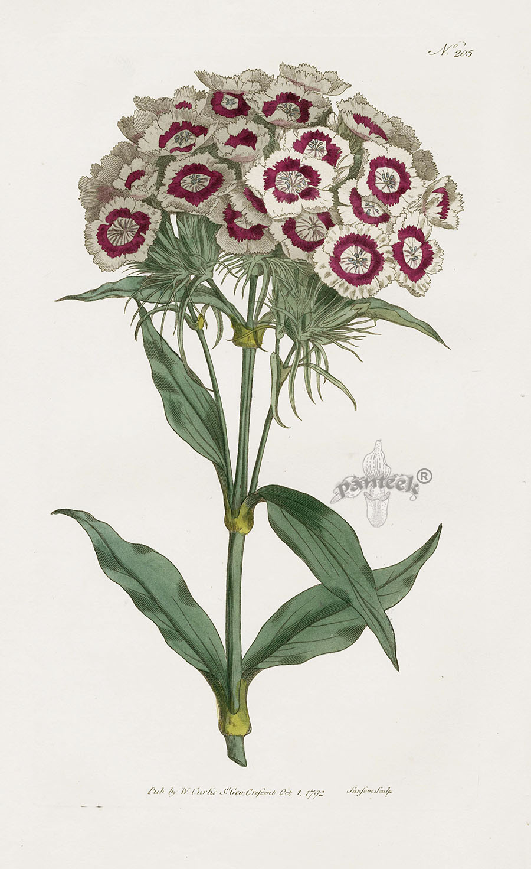 William Curtis Botanical Magazine Antique Prints 1787 1817